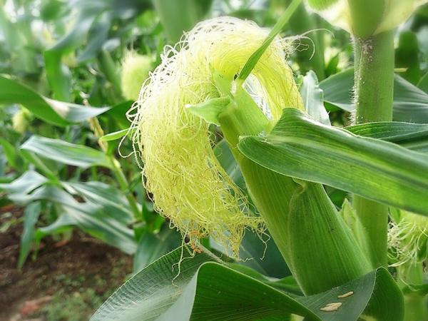 トウモロコシの保存方法